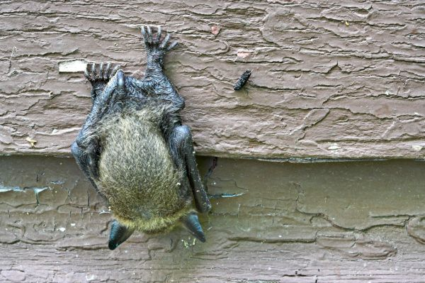 Michigan-Brown-Bat-on-house